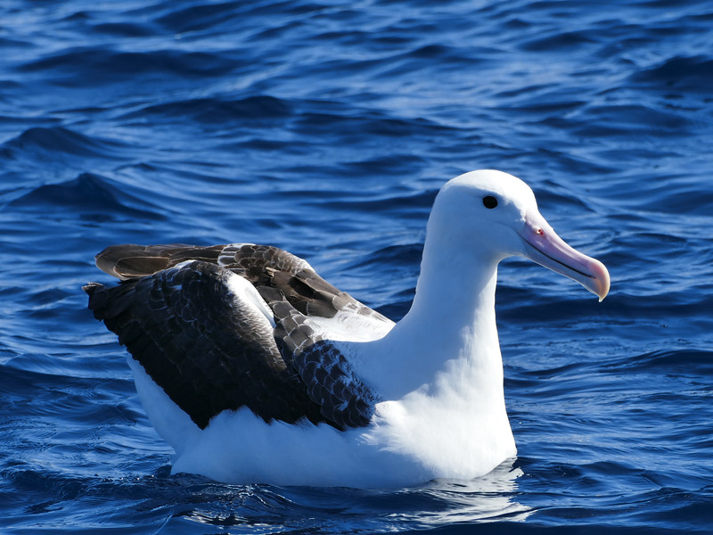 Northern royal albatross / Toroa