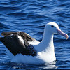 Northern royal albatross / Toroa