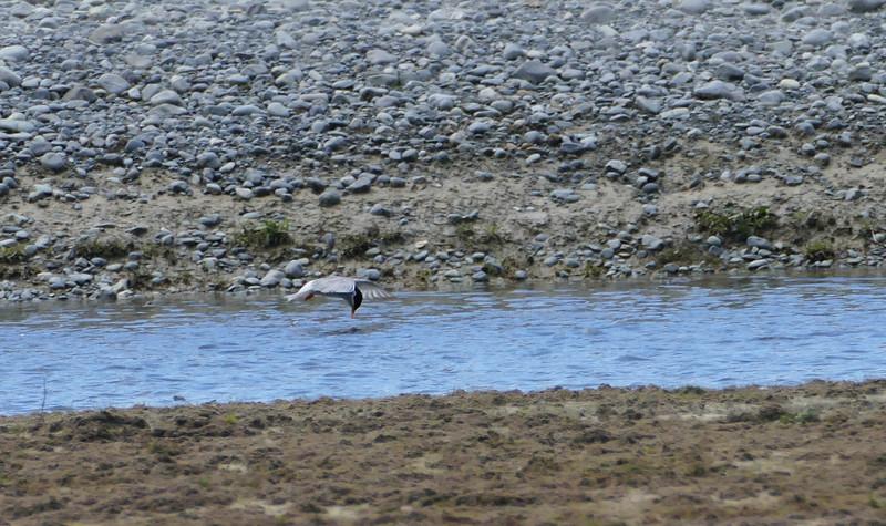 Black-fronted tern / Tarapiroe