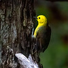 Yellowhead / Mohua