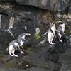 Fiordland crested penguin / Kawaki