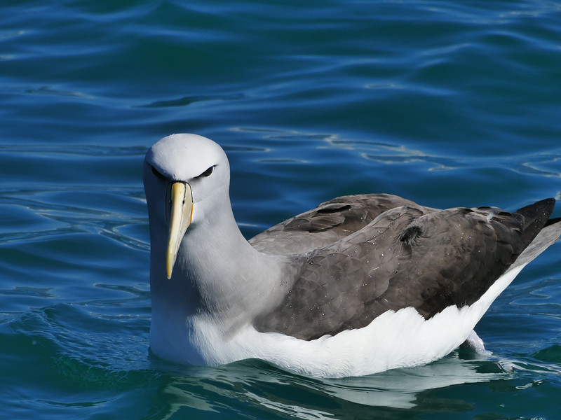 Salvin's albatross / mollymawk