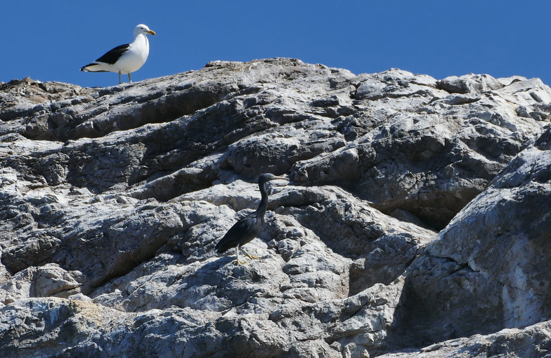 Reef heron & Black-backed gull