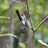 Stitchbird / Hihi (female)