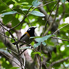 Stitchbird / Hihi (male)