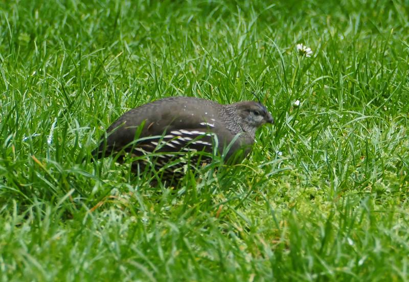 California quail (female)