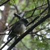 Stewart Island robin / Toutouwai (male)