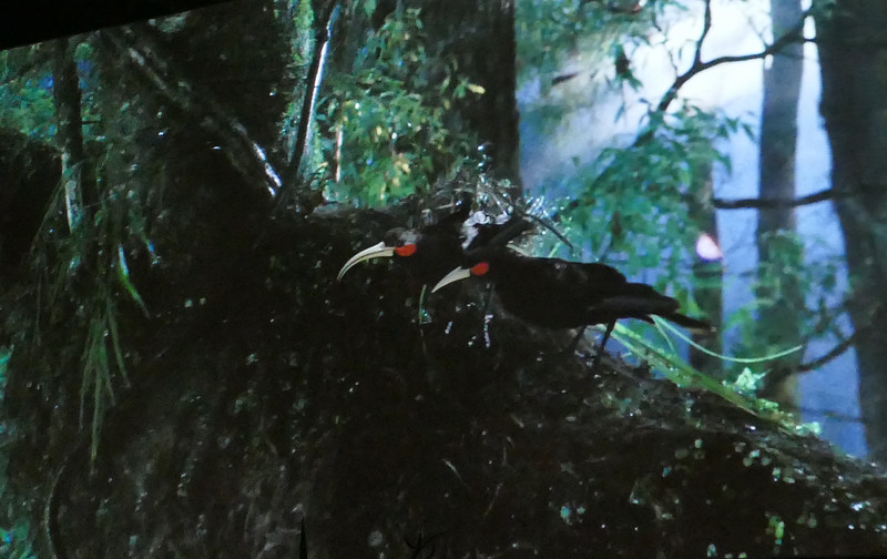 Huia - female (left), male (right)