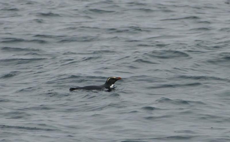 Fiordland crested penguin / Tawaki