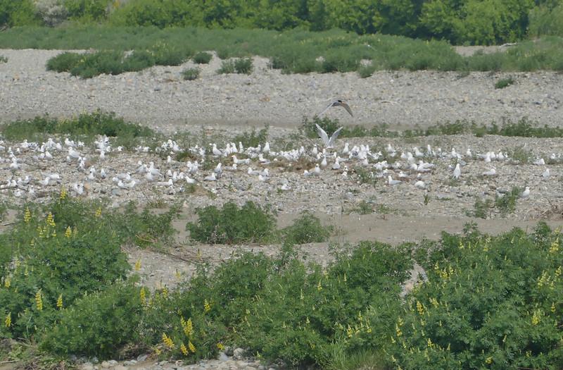Black-billed gull colony