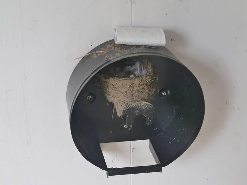 Welcome swallow nest
