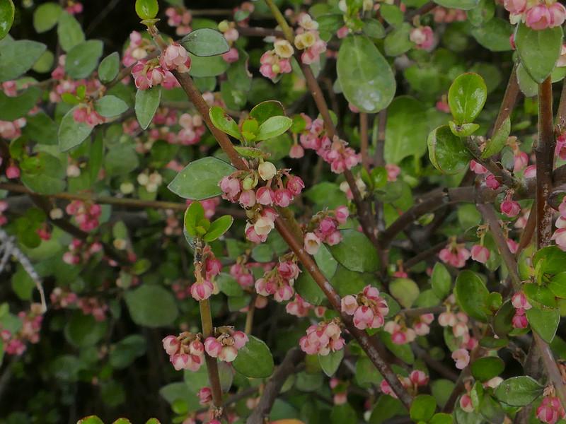 Mountain wineberry
