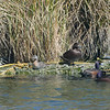 NZ Dabchick & female & male NZ scaup