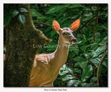 Santee Park Deer
