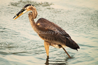 """""""Afternoon Snack""""  MCB055 Great Blue Heron"""