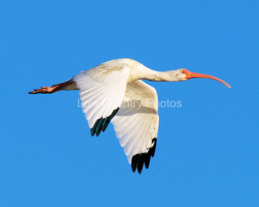 Flying WoodStork