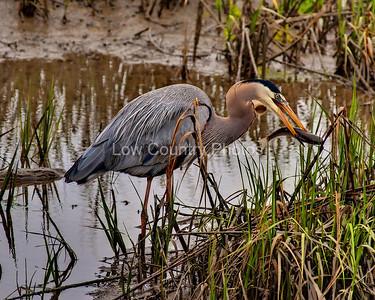MC161629-1mb  A great Blue Heron enjoys a fish.