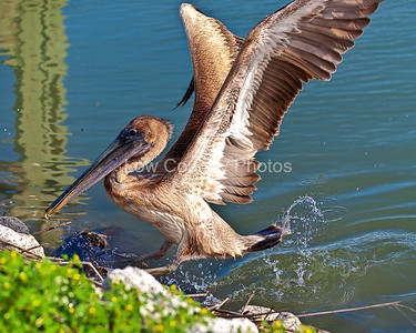 """""""Pelican Splash""""  MCB054 A Pelican jumps out of the water on to the rocks -"""
