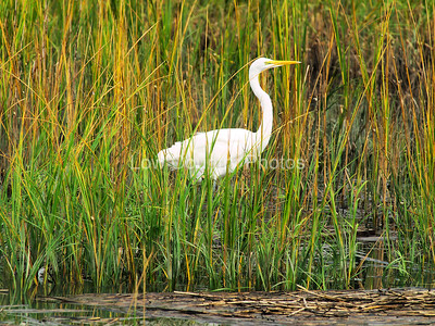 Egret in the marsh grass