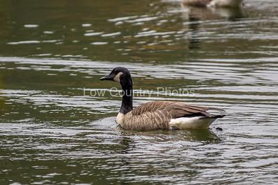 Oconee State Park Geese