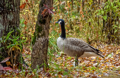 Oconee State Park -Geese