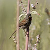 Black-chinned Sparrow Mt Palomar 2009 06 17-3.JPG-3.JPG