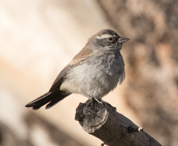Black-throated Sparrow near Tom`s Place Mono County 2018 07 26-2.CR2