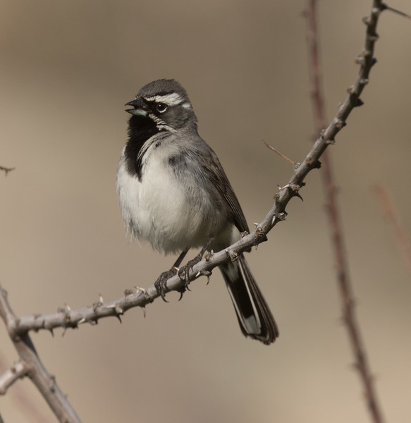 Black-throated Sparrow Anza Borrego 2019 03 14-3.CR2