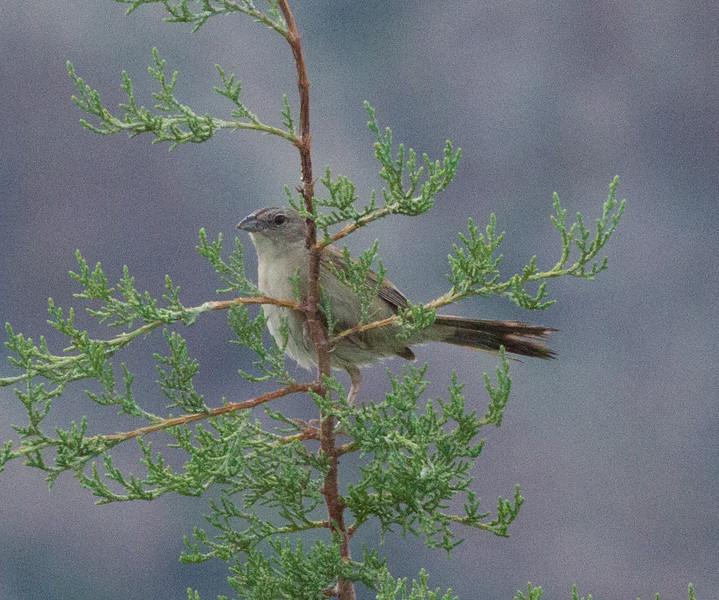 Botteri`s Sparrow  Fort Huachuca Sierra Vista Arizona 2011 08 20-2.CR2