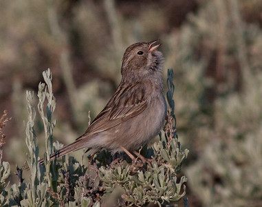 Brewer`s Sparrow  Mammoth Lakes  2015 06 26-1.CR2