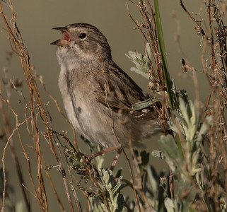 Brewer`s Sparrow  Mammoth Lakes 2017 06 29-1.CR2-4.CR2