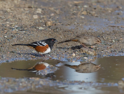 Spotted Towhee California Towhee Camp Pendleton 2017 12 31-2.CR2-2.CR2