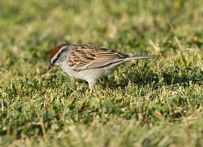 Chipping Sparrow Buddy Todd Park 2021 04 06-216.CR3