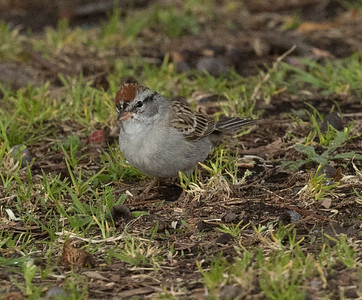 Chipping Sparrow  Buddy Todd Park 2021 03 30-216.CR3