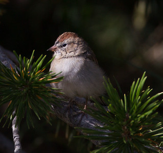 Chipping Sparrow Mammoth Lakes 2014-08-19 (1 of 2).CR2 (1 of 1).CR2