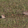 Clay-colored Sparrow  Mission Bay 2019 10 11-2.CR2