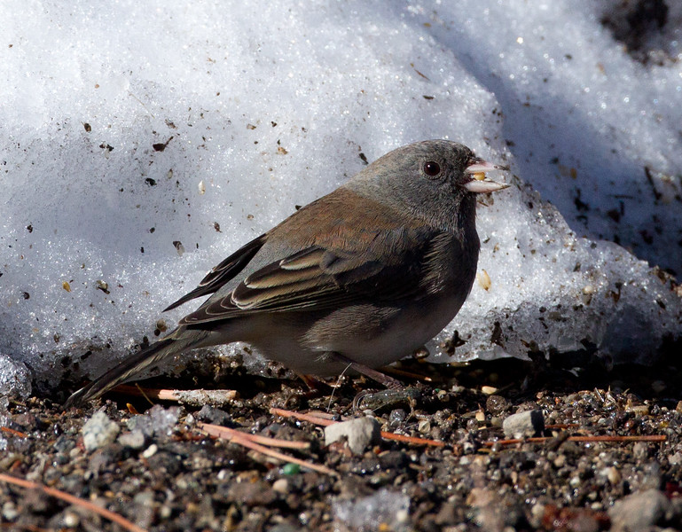 Slate-colored Junco   Mammoth Lakes 2012 10 27 (1 of 2).CR2
