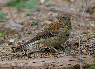 Oregon Junco Mammoth Lakes 2014 08 20 (1 of 1).CR2