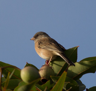 Pink-sided Junco  Fort Rosecrans National Cemetary 2014 10 11 (201411 of 3).CR2