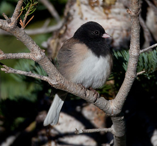 Oregon Junco Mammoth Lakes 2013 09 14 (1 of 2).CR2