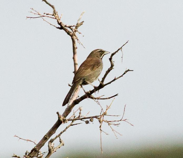 Five-Striped Sparrow Montrose Canyon  Southeast Arizona 2011 08 21-1.CR2