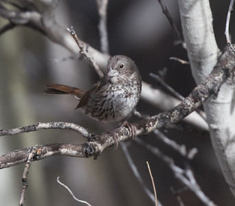 Fox Sparrow (Slate Colored } Wifred  Canyon 2019 05 03-3.CR2