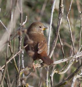Fox Sparrow  Mt Israel Escondito 2014 01 04-1246.CR2