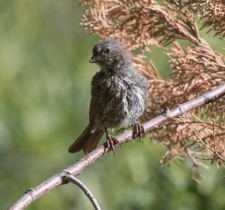 Fox Sparrow  Mammoth Lakes 2020 07 27-1.CR2