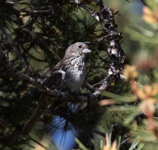 Fox Sparrow (Sooty) Mammoth Lakes 2021 06 19-216.CR3