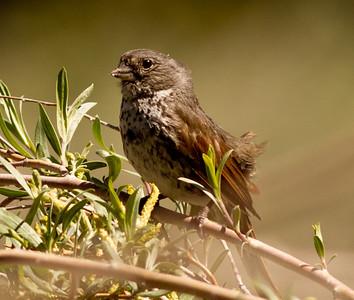 Fox Sparrow  Wild Rose Canyon Ca. 2011 06 19-1.CR2