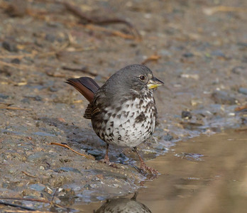 Fox Sparrow Camp Pendlton 2017 12 31-3.CR2