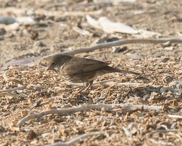 Fox Sparrow {Sooty} Coso Junction 2020 10 11.CR2