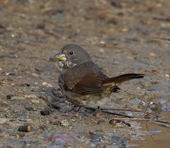 Fox Sparrow Camp Pendlton 2017 12 31-2.CR2