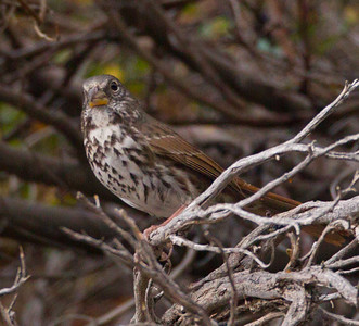 Fox Sparrow Yosemite NP 2014 09 19 (1 of 2).CR2